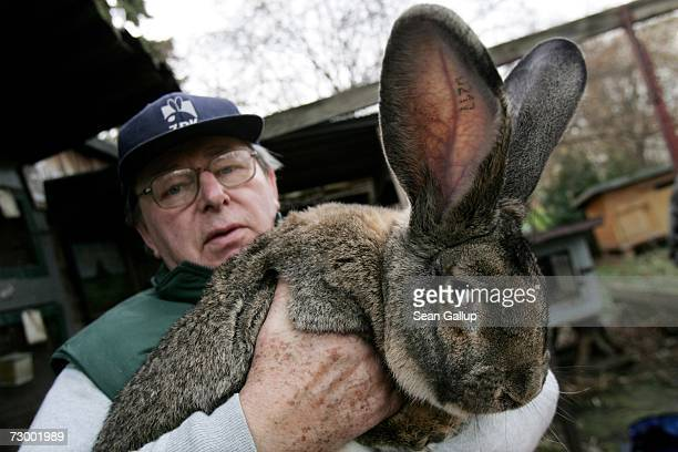 Pensioner Karl Szmolinsky who raises a large breed of rabbits called Giant Greys holds Robert 2 an 85kg Giant Grey which is 74cm in length and has...