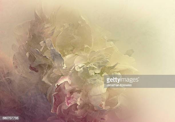 Peonies in a tank of water and dissolving paint