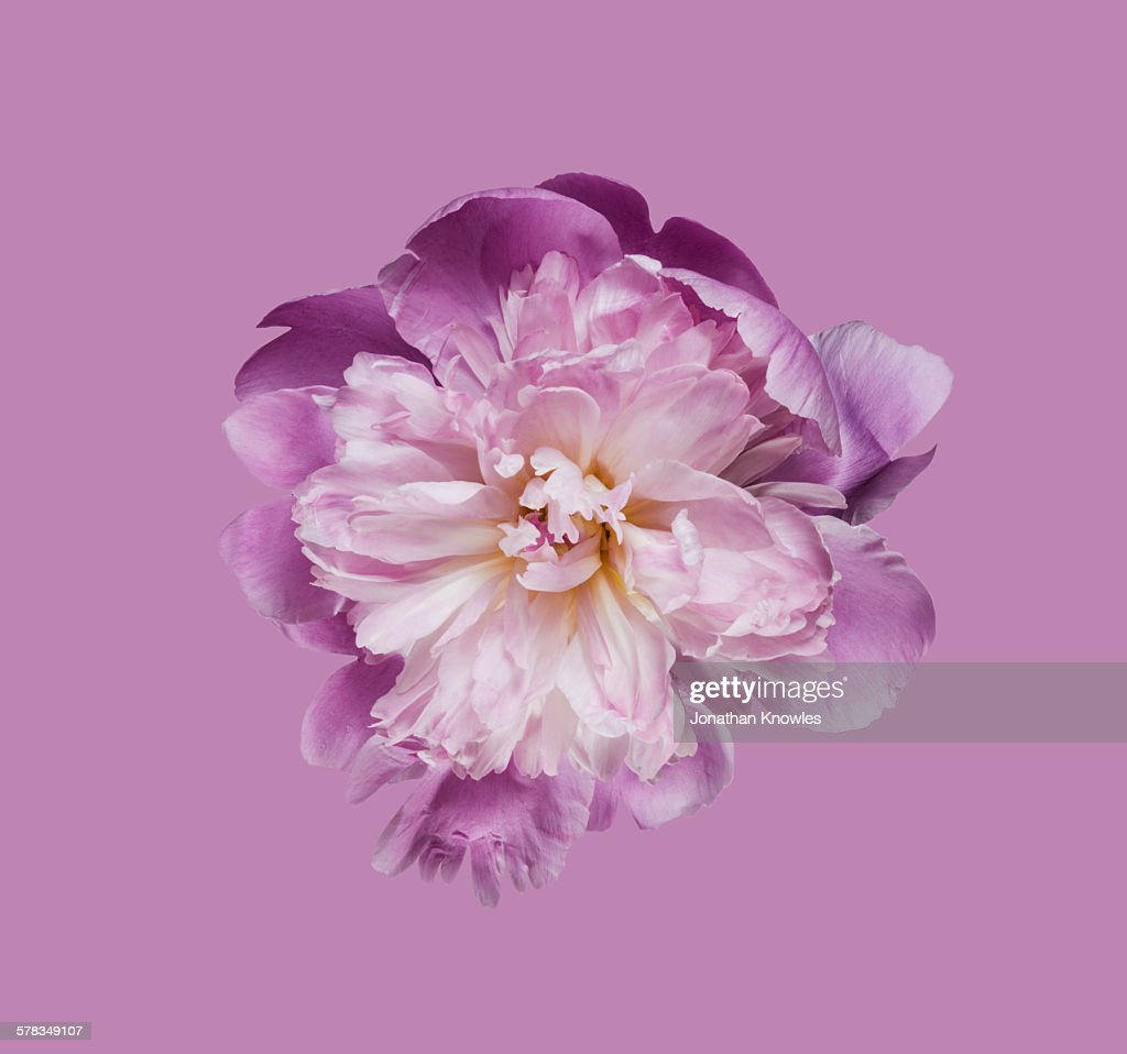 Peony flower against pink background