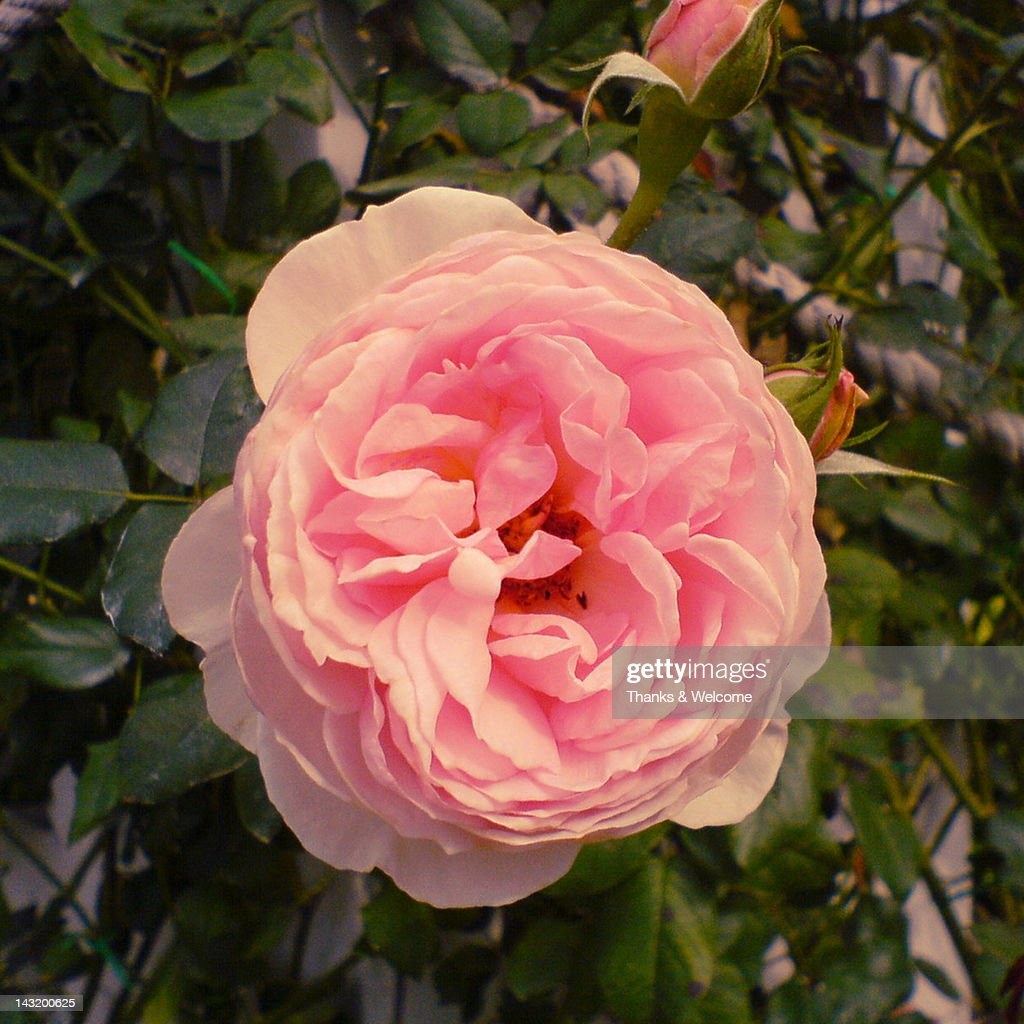 Peony flower : Stock Photo