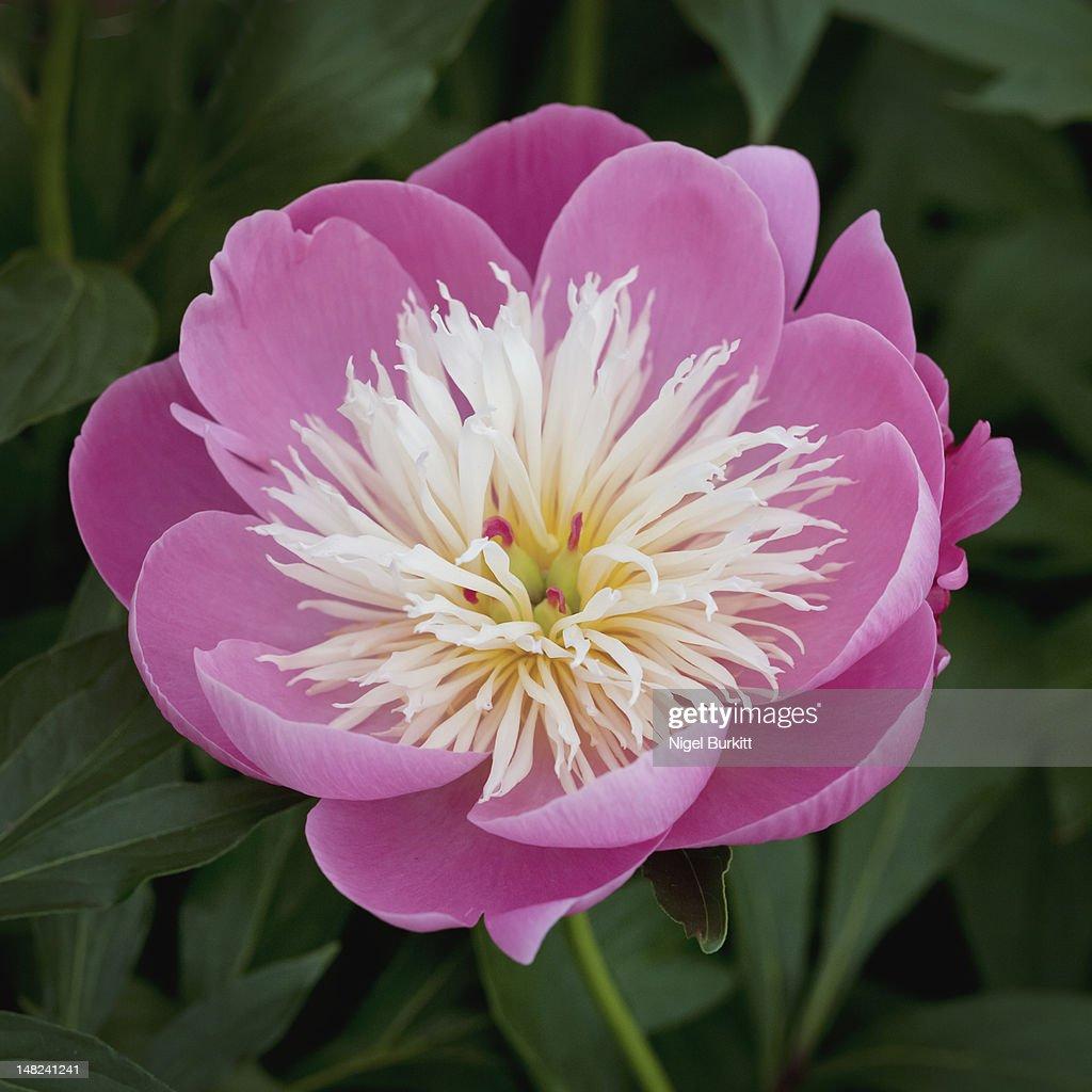 Peony flower : Stock Photo