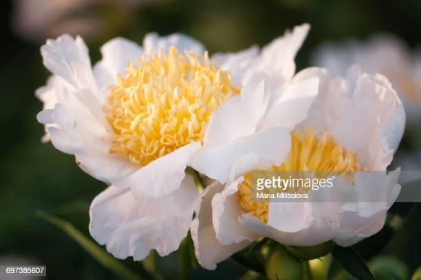 Peony 'Honey N Cream' Flower Duet