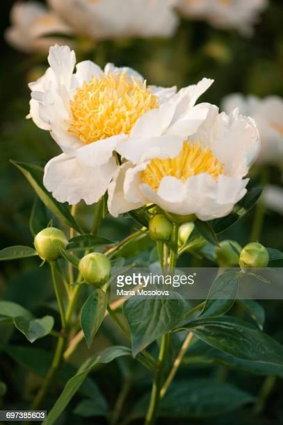 Peony 'Honey N Cream' Flowers and Buds