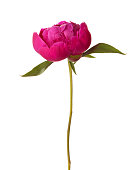 Peony isolated on white background. Focus on center of flower