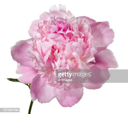 Peony  'Mons. Jules Elie'  (Paeonia lactiflora)
