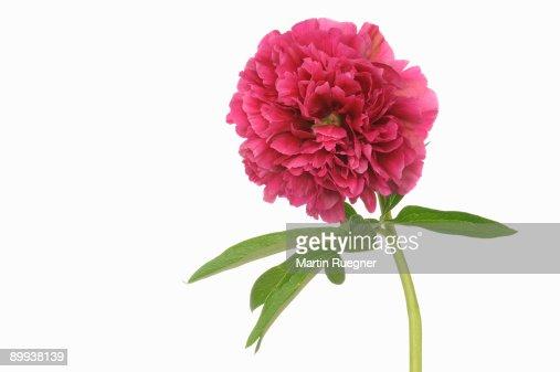 Peony Paeonia officinalis flower head. : Stock Photo