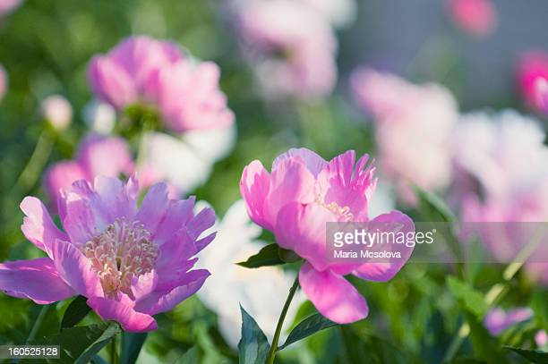 Peony Patch in Bloom