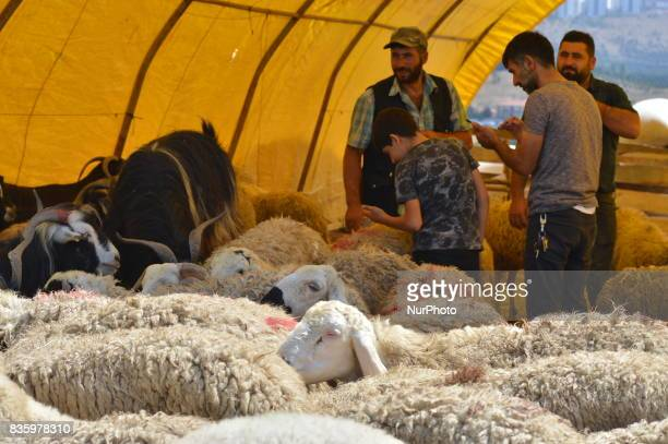 People and sacrificial sheep can been at a livestock market in the Yakacik area of Ankara Turkey on August 20 2017 Shepherds have brought their...