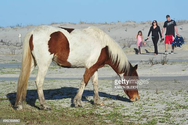 People approach a horse at the Assateague Island National Seashore near Berlin Maryland on November 27 2015 Many tourists ignore warnings to keep a...
