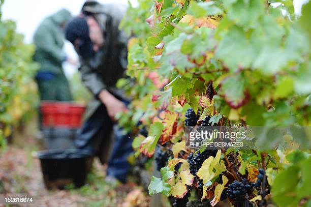 LEMETAYER People are at work during the grape harvest of GevreyChambertin wineyard on September 22 2012 in GevreyChambertine Eric Rousseau the...