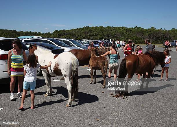 People check out the wild ponies as they roam free August 24 2016 in Assateaque Island Maryland Assateaque Island National Seahore has a combined...