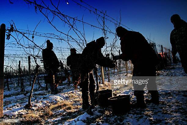 People collect frozen wine grapes as temperatures show 12 degrees Celsius at Mikulov near Brno Czech on December 9 2012 The Ice wine which is...