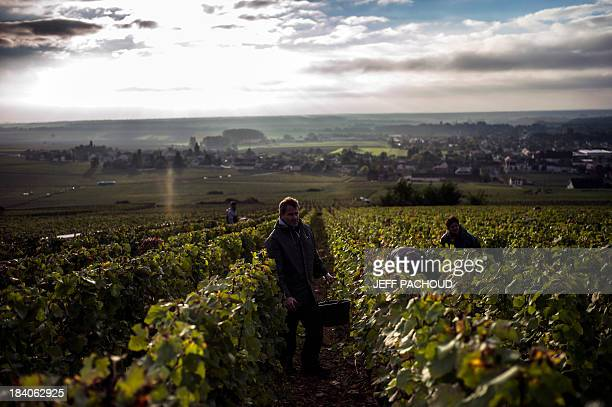 People collect grapes in Faiveley in NuitsSaintGeorges during the harvest period on October 7 2013 AFP PHOTO / JEFF PACHOUD