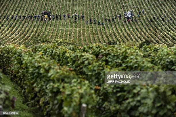 People collect grapes in the Burgundy domain in VosneRomanee during the harvest period on October 8 2013 AFP PHOTO / JEFF PACHOUD