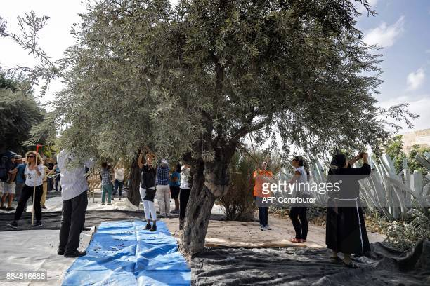 People collect olives on millenium olive trees situated in the Franciscan Hermitage of Gethsemane in the Mount of Olives in front of the Jerusalem's...
