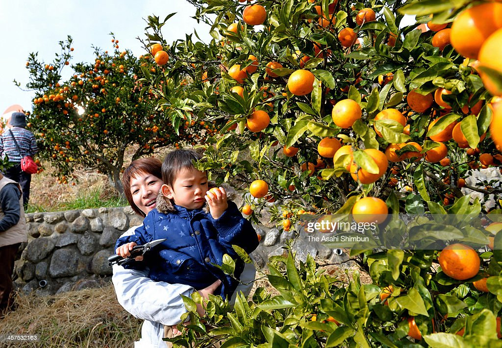 People crop Japanese mandarin orange on December 17, 2013 in Hirono, Fukushima, Japan. Hirono town, former no-go zone of the Fukushima Daiichi Nuclear Power Plant, had imposed the voluntary ban to harvest the oranges after the accident.