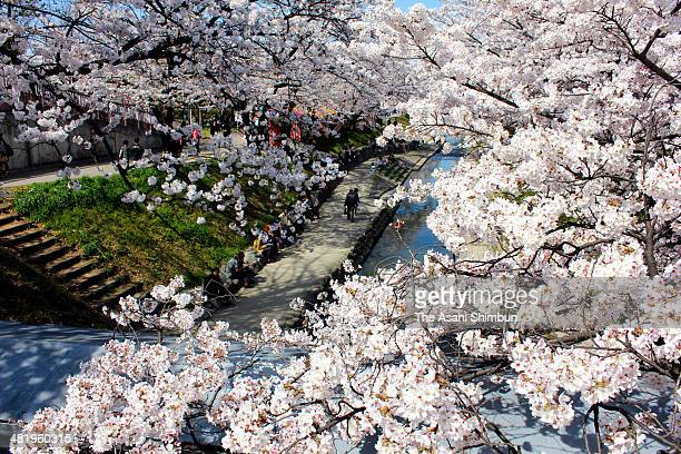 People enjoy cherry blossom at Takada River on April 1 2014 in Yamatotakada Nara Japan