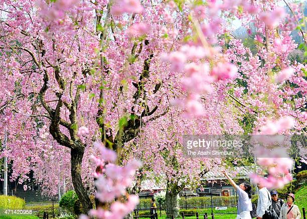 People enjoy fully bloomed cherry blossom at Yonai Water Purifying Plant on April 28 2015 in Morioka Iwate Japan