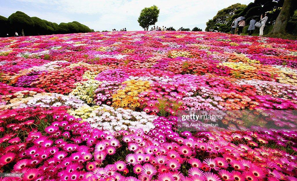 People enjoy fully bloomed livingston daisy at Nokonoshima on May 4, 2014 in Fukuoka, Japan.