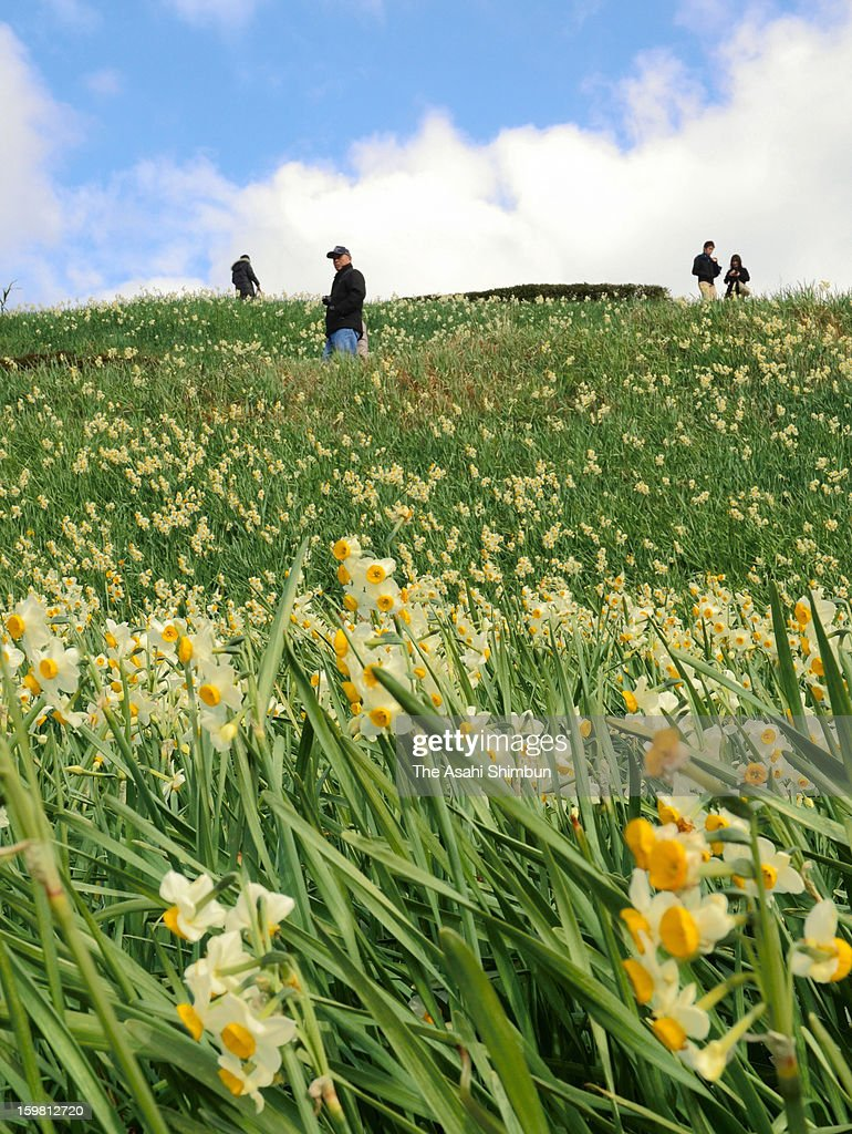 People enjoy fully-bloomed narcissus during Nomozaki Suisen (narcissus) Festival at Nomozaki Suisen Park on January 19, 2013 in Nagasaki, Japan. The festival is until Janaury 27.