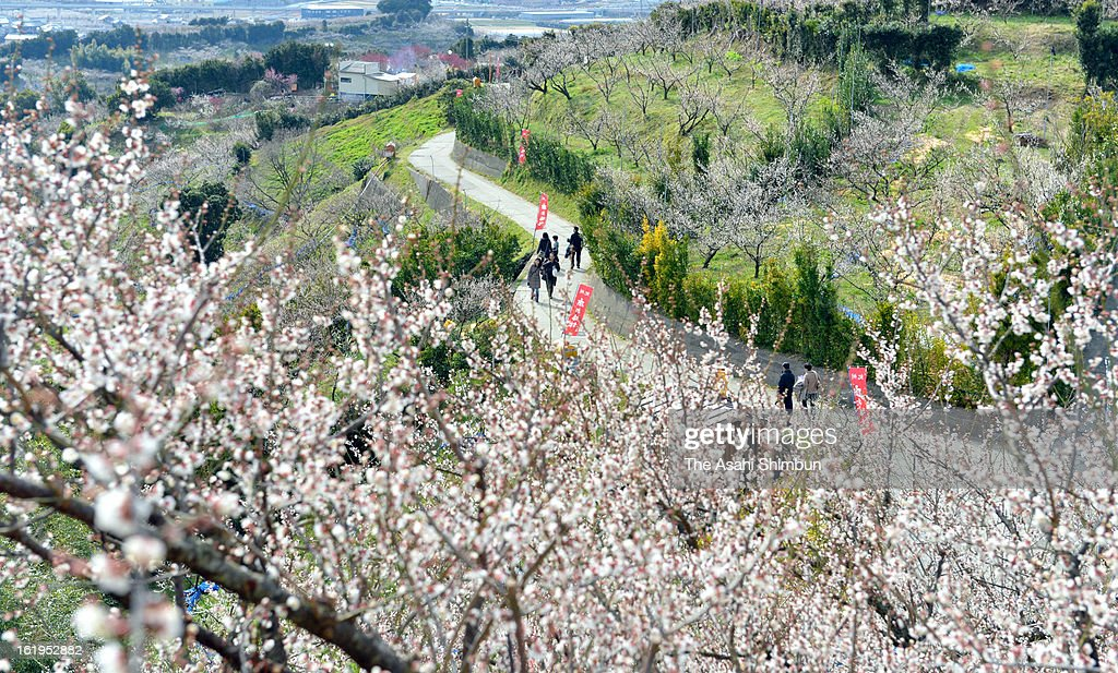 People enjoy hiking through the plum orchards near full bloom on the mountain side in early spring, on February 17, 2013 in Minabe, Wakayama, Japan. The orchard will open until March 3.