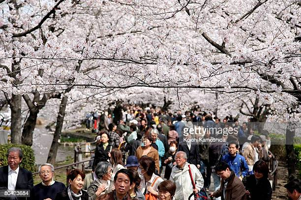 People enjoy the fully bloomed cherry blossoms at Ueno park on March 29 2008 in Tokyo Japan The blooms arrived seven days earlier than the average...