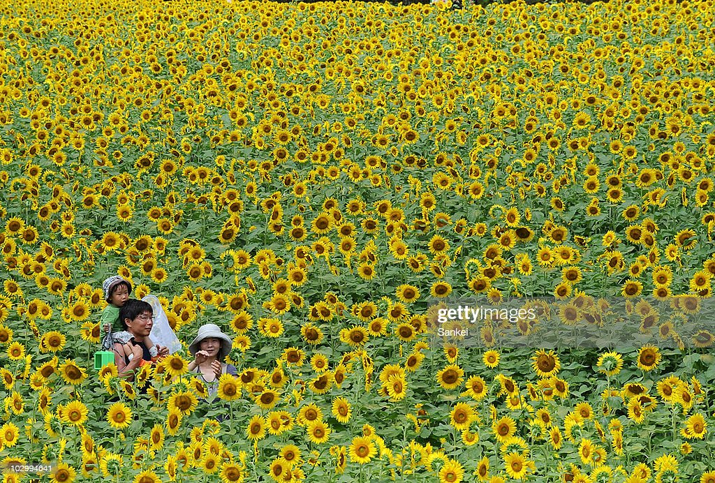 People enjoy the maze made by sunflowers on July 19, 2010 in Sayo, Hyogo, Japan. 1.5 million sunflowers are in full bloom.