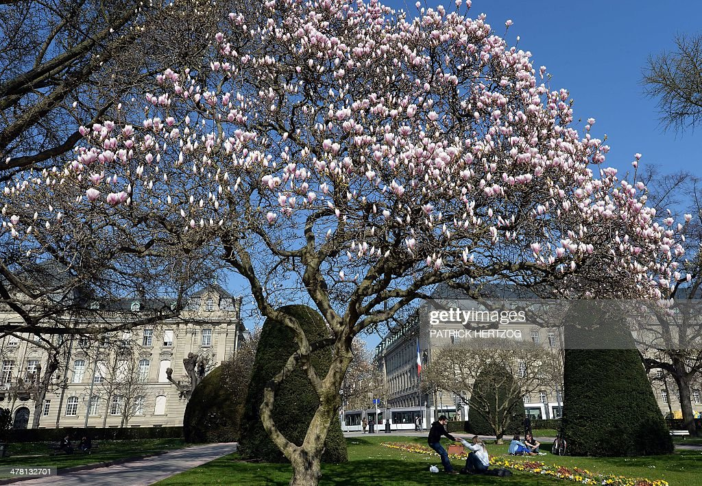 People enjoy the sun under blooming magnolia trees in a park, on March 12, 2014 in central Strasbourg, eastern France. AFP PHOTO / PATRICK HERTZOG
