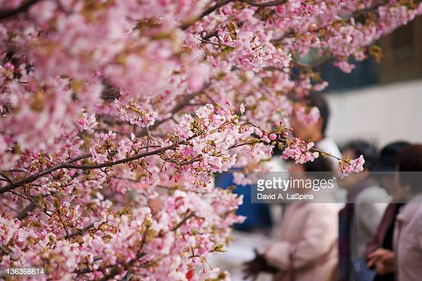 People enjoying cherry blossoms