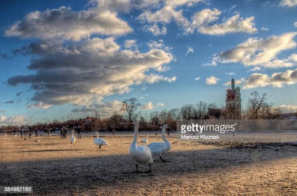 People feeding swans on winter Sopot beach