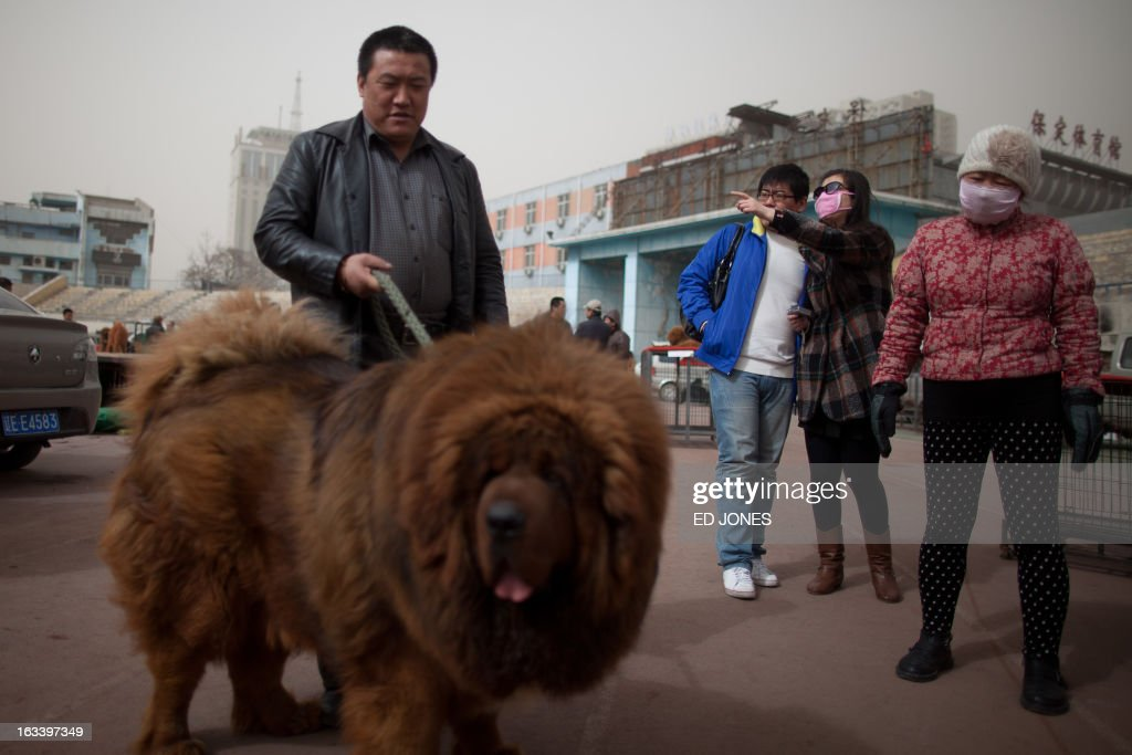 People gather around a Tibetan mastiff dog displayed at a mastiff show in Baoding, Hebei province, south of Beijing on March 9, 2013. Fetching prices up to around 750,000 USD, mastiffs have become a prized status-symbol amongst China's wealthy, with rich buyers across the country sending prices skyrocketing. Owners say the mastiffs, descendents of dogs used for hunting by nomadic tribes in central Asia and Tibet are fiercely loyal and protective. Breeders still travel to the Himalayan plateau to collect young puppies, although many are unable to adjust to the low altitudes and die during the journey. AFP PHOTO / Ed Jones