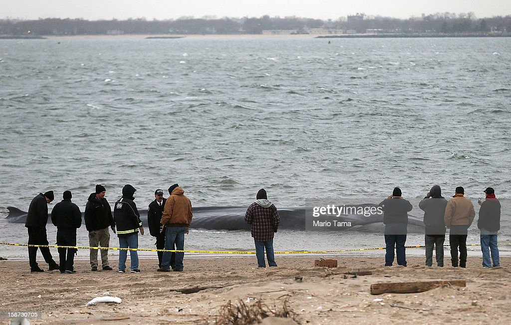People gather in front of a beached whale, still alive, in the Breezy Point neighborhood on December 26, 2012 in the Queens borough of New York City. Breezy Point was especially hard hit by Superstorm Sandy. Rescuers believe the whale will not be able to be saved.