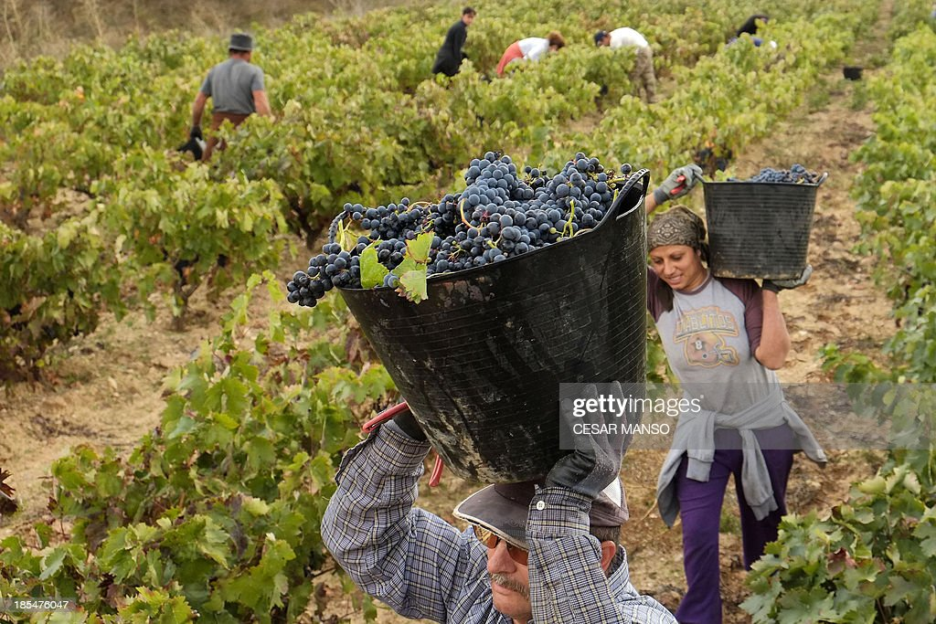 People harvest grapes at a vineyard of the winery 'Raul Calvo' in Gumiel de Mercado, region de Ribera del Duero, near Burgos, on October 19, 2013. The winery of Raul Calvo is a small traditional and familial bodega which produces Red wine under the Regulation of the Designation of Origin (DO) 'Ribera del Duero'. The harvest in the region was delayed due to high temperatures recorded during the summer.