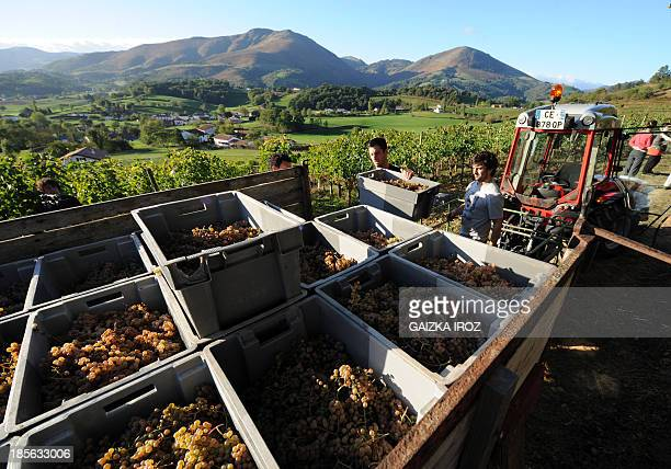 People harvest grapes on October 23 2013 in Irouguy southern France at the Arretxea vineyards of Michel Riouspeyrous to make the Irouleguy organic...