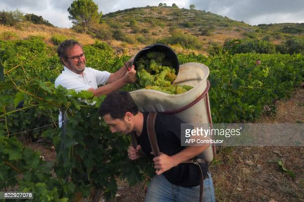 People harvest Muscat grapes at the Chateau de Jau estate in CasesdePene southern France on July 26 2017 Knocked off course by a cold spring snap...