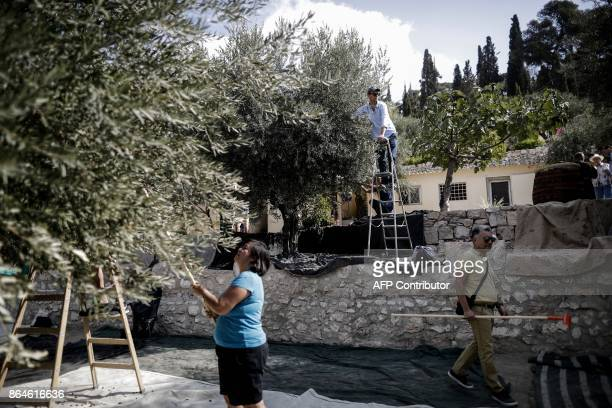 People harvest olives from Millenium Olive trees at the Franciscan Hermitage of Gethsemane in the Mount of Olives just outside Jerusalem's Old City...