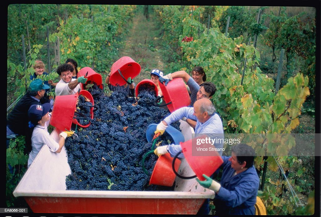 People harvesting grapes in vineyard, Tuscany, Italy : Stock Photo