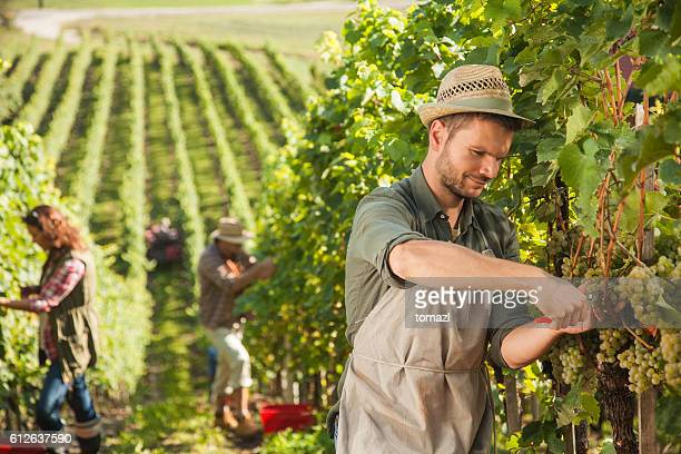 People harvesting grapes