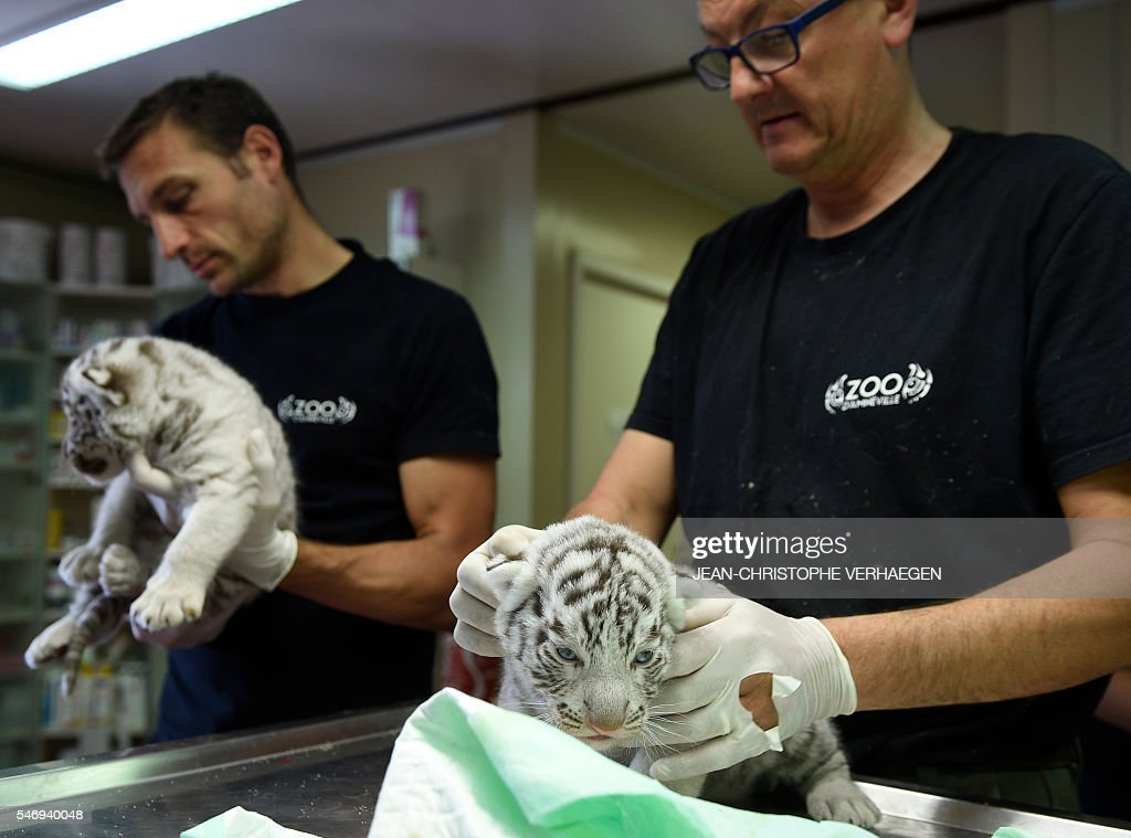 People hold two of the three newborn white tigers during weighing embeding of computer chip deworming and auscultation at the zoological park of the...