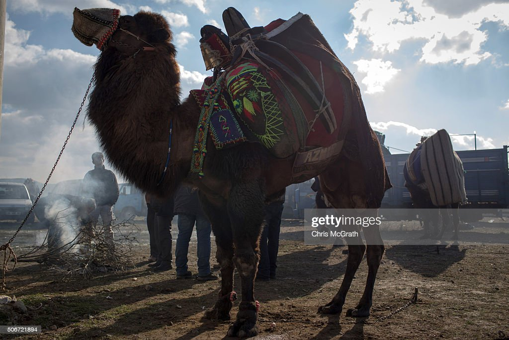Traditional Camel Wrestling On The Aegean Coast Getty Images