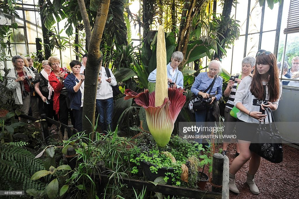 People look at a blooming titan arum plant at the Jardin des plantes botanical garden in Nantes, western France, on June 30, 2014. The titan arum (Amorphophallus titanum), also known as the corpse flower or stinky plant due to its odor, may remain in bloom for up to 24 to 48 hours before it begins to wilt.
