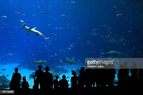 People look at a hammerhead shark while visiting the Georgia Aquarium on April 2 2007 in Atlanta Georgia The aquarium has been open since 2004 and is...