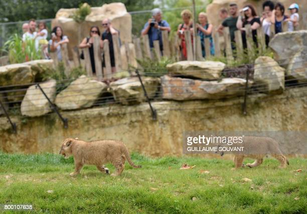People look at lion cubs inside the new enclosure 'La Terre des Lions' on June 23 2017 at the Zooparc of Beauval / AFP PHOTO / GUILLAUME SOUVANT