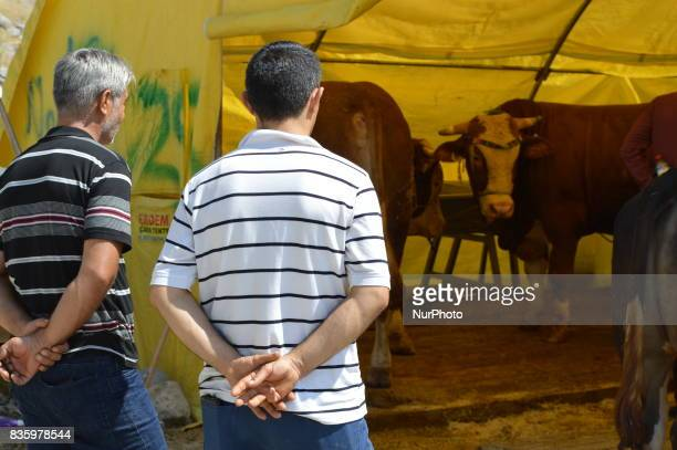 People look at sacrificial cows at a livestock market in the Yakacik area of Ankara Turkey on August 20 2017 Shepherds have brought their animals to...