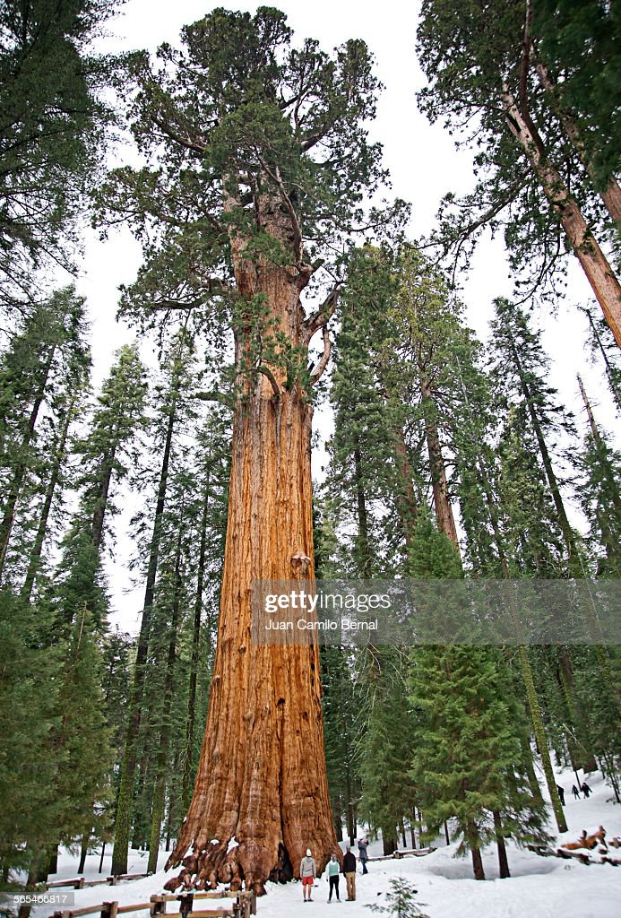 People next to big sequoia tree