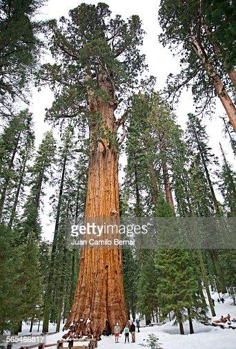 People next to big sequoia tree
