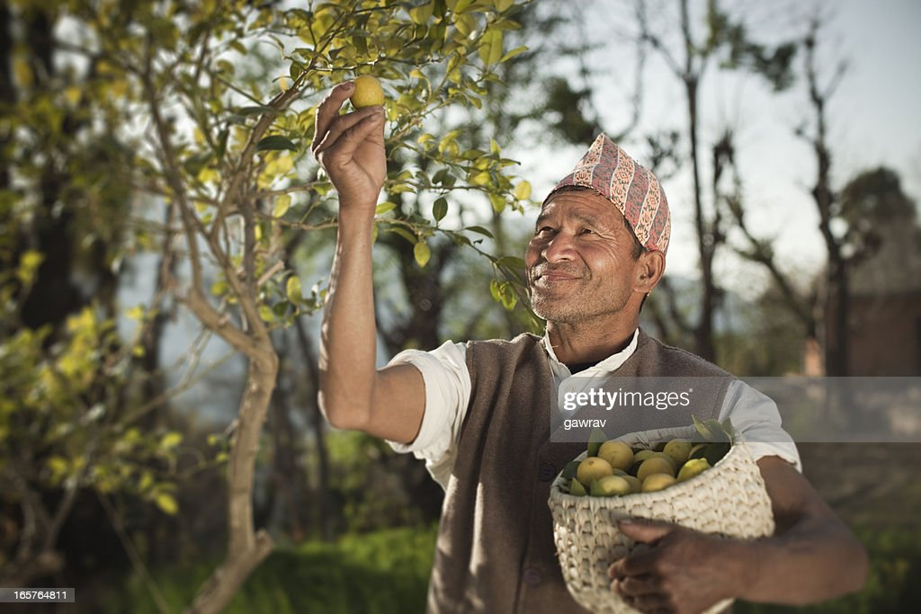 People of Nepal: Happy farmer collecting fresh lemon. : Stock Photo