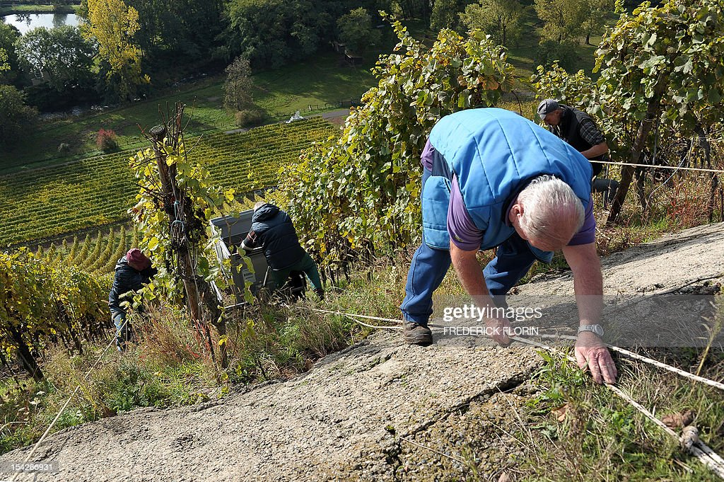 People participate in the grape harvest of the Grand Cru Rangen, on October 17, 2012 in Thann, eastern France. The rows of the vineyard overhangs the city with a gradient of 45 to 100. AFP PHOTO/FREDERICK FLORIN
