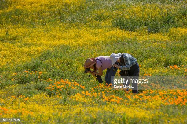 People photograph California poppies after prolonged record drought gave way to heavy winter rains causing one of the biggest wildflower blooms in...