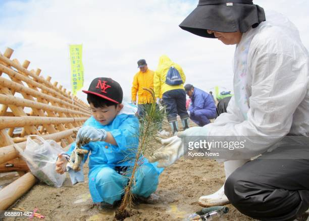 People plant pine tree saplings on May 27 on the coast of the northeastern Japan city of Rikuzentakata which was destroyed in the March 2011...